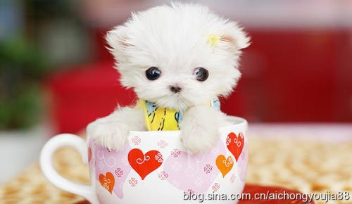 可爱的小狗在茶杯里